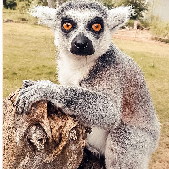 lemur-433700_960_720-2